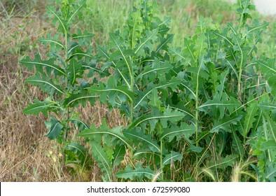 bitter lettuce in a meadow