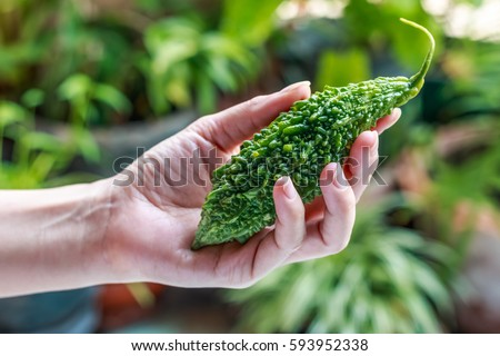 Bitter melon fresh organic green herb or balsam pear in girl hands with green nature background. Closeup, Select focus.