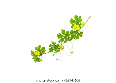 bitter melon leaves with yellow flower isolated on white background