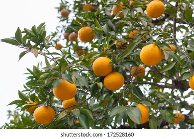 Bitter orange fruits on a tree (Citrus aurantium var. daidai)