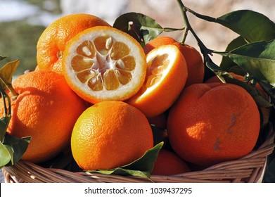 Bitter orange fruits in a wicker basket