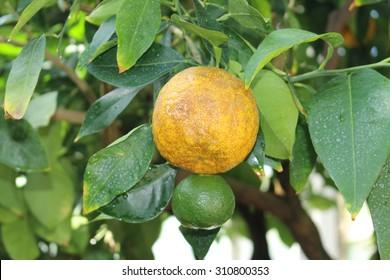 """Bitter Orange"" on the tree (or Seville Orange, Bigarade Orange, Marmalade Orange) in Munich, Germany. Citrus Aurantium is a hybrid of Citrus Maxima (Pomelo) and Citrus Reticulata (Mandarin)."