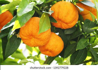Bitter orange tree with fruits and leaves