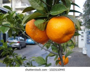 Bitter oranges or citrus aurantium on tree, after the rain