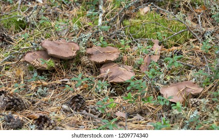 Bitter tooth fungus, Sarcodon scabrosus growing in coniferous environment