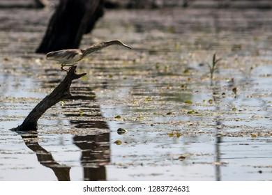 Bittern (Botaurinae) at Kerkini Lake, Greece. Bird watching from a drowned tree.