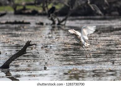 Bittern (Botaurinae) at Kerkini Lake, Greece. Bird caught a fish. Bird holding fish in its bill.