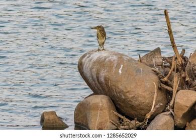 Bittern on a rock