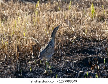 Bittern standing in a burnt piece of marsh reed bed.