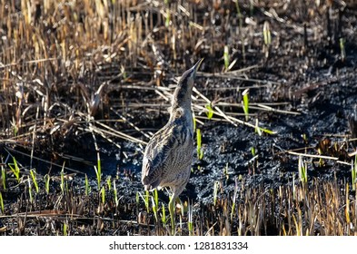 Bittern standing in a burnt piece of marsh reed bed looking up.