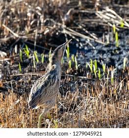 Bittern walking across a marsh reed bed looking up.