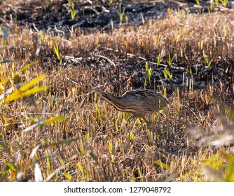 Bittern walking across a marsh reed bed.