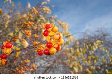 Bittersweet in Autumn