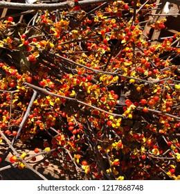 Bittersweet autumn vine