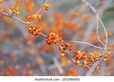 Bittersweet berries in fall. Oriental Bittersweet or  Celastrus orbiculatus. Place for text.