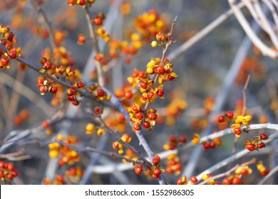 Bittersweet berries in fall. Oriental Bittersweet or  Celastrus orbiculatus