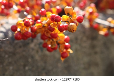 Bittersweet berries on branch in autumn New England