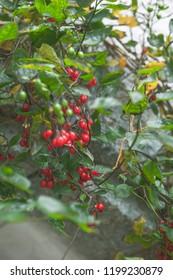 Bittersweet nightshade berries and bush