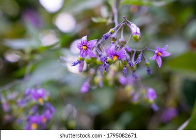 Bittersweet nightshade (Solanum dulcamara) flowers and buds with leaves close up