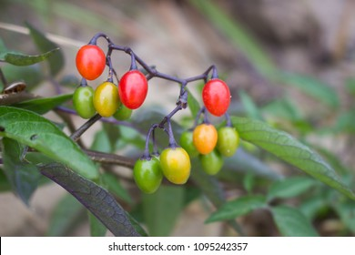 Bittersweet nightshade (Solanum dulcamara) in the process of maturation with green yellow and red berries