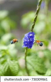 A biue banded bee feeding on tiny biue purple flowers