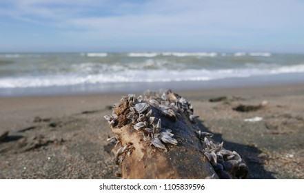 bivalve colony driftwood on a beach after storm