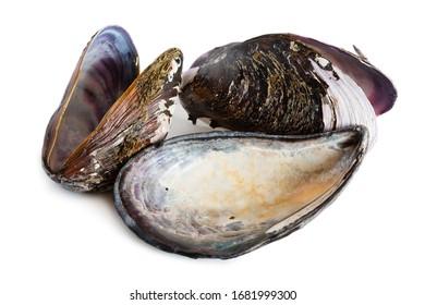 Bivalve mollusk shells of mussel Mytilus edulis. Isolated on white.