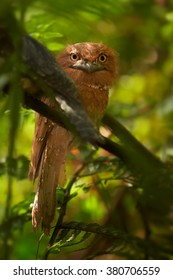 Bizarre bird, SriLanka Frogmouth Batrachostomus moniliger, female perched on twig under tree ferns canopy in rainforest Sinharaja, Sri Lanka.