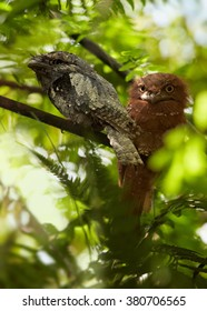 Bizarre birds, SriLanka Frogmouth Batrachostomus moniliger, pair perched on twig under tree ferns canopy in rainforest Sinharaja, Sri Lanka.