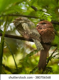 Bizarre birds, SriLanka Frogmouth Batrachostomus moniliger, pair perched on twig under tree ferns canopy in rainforest Sinharaja, Sri Lanka. Female is rufous, male brownish grey.