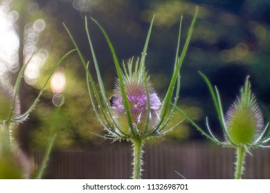 the bizarre flower bud of a cardiac thistle before blooming with Bokeh Background