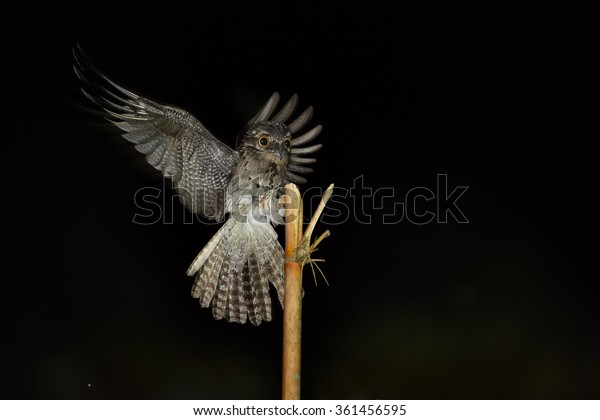 Bizarre Nyctibius griseus Common Potoo,nocturnal bird in night flight, hunts for insects, preparing for landing on bamboo tree. Outstretched wings,orange eyes. Flash light,Trinidad.