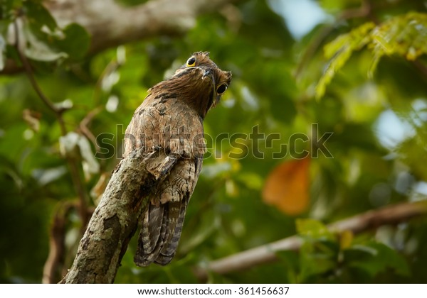 Bizarre Nyctibius griseus  Common Potoo,nocturnal bird, perched on dead tree and camouflaged to look like a log,staring directly at camera, orange eyes,green forest background.Trinidad.
