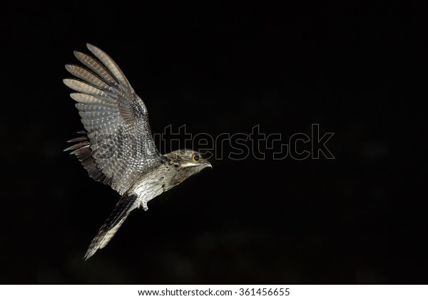 Bizarre Nyctibius griseus  Common Potoo,nocturnal bird in night flight, hunting for insects.  Outstretched wings,orange eyes. Flash light,Trinidad.