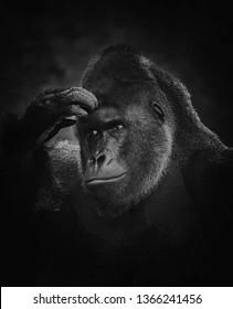 Blac ang white gorilla picture
