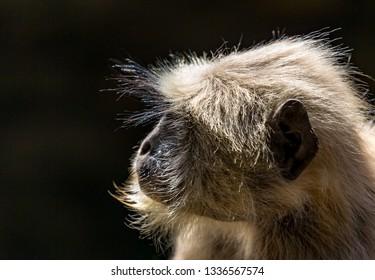 Blace faced monkey, grey langur in Ranthambore Park
