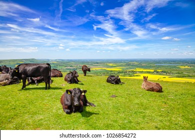 Black Aberdeen Angus beef cattle at pasture on the South Downs hill in rural Sussex, Southern England, UK