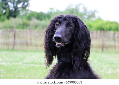 black afghan hound is looking to the camera in sthe garden