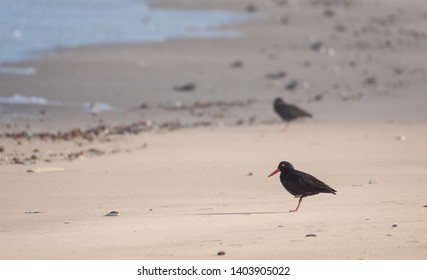 Black African oystercatcher pair on the beach near Boggams Bay / Mossel Bay, on the Oystercatcher Trail, Garden Route, South Africa.
