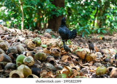 Black afrikan hen is free grazing on a pile of empty coconut shell