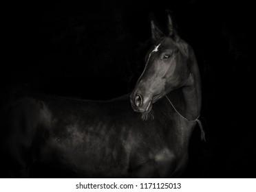 black akhal-teke horse isolated on black background monochrome picture