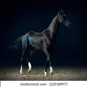 black akhal-teke horse on black background
