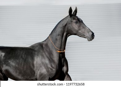 black akhal-teke mare portrait