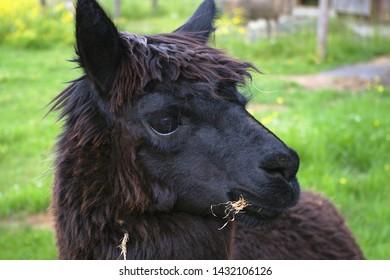 black alpaca llama head closeup wool agriculture mammal
