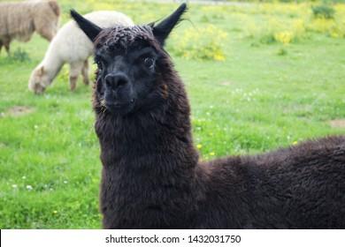 black alpaca llama head wool agriculture mammal