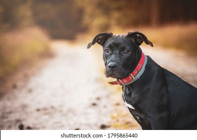 Black American staffordshire terrier sitting on the road, portrait.