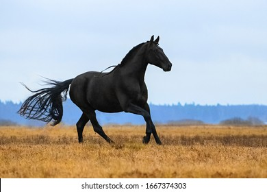 Black andalusian (P.R.E) stallion galloping in a yellow field with blue sky in the background. Animal in motion.