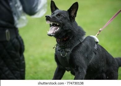 Black angry working line German shepherd barking