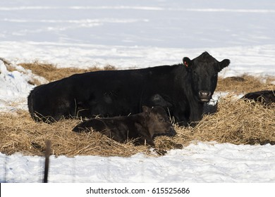 Black Angus Beef Cattle in a feed lot