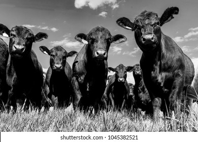 Black Angus bull and heifers shot close up from a low angle with blue sky background